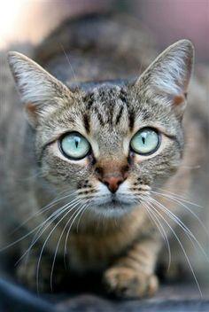 """""""Big Blue Eyed Cat"""" by Amanda Fruta on flickr"""