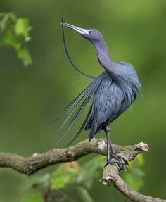 Blue Heron by Amaw