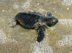 We are all about protecting and preserving our wildlife here on Kiawah and Seabrook Islands. One organization dedicated to saving the sea turtles is the Seabrook Island Turtle Patrol. Read more about their mission and how you can help! http://www.siturtlepatrol.com/