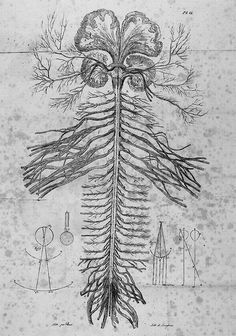 Scientific Illustration Exposition of the nervous system of the human body by Charles Bell, century Frankenstein, Body Diagram, Nervous System Anatomy, Systems Art, Human Body Art, Animal Adaptations, Anatomy Tattoo, Human Body Systems, Victorian Art