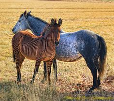 Zorse Foal with Mother Horse