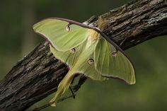 Brand New Luna Moth (Morgan County)