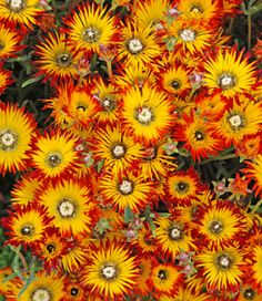 """Drosanthemum micans:  Wouldn't this be perfect as a border (in large pots, perhaps) spaced at intervals along the ascending driveway.  Pots should be ~2' dia. and deep enough to anchor these 2.5' tall by 3' wide ever-blooming """"wonder plants.""""  Pot color could be black or some bright echo of orange or yellow or green."""