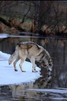 Wolves approach winter with thick coats, full-sized packs, and hungry bellies. Pups are ready to travel with the adults throughout the pack's territory. Wolves gain hunting advantages over ungulates (hoofed animals such as elk, deer and moose) because their wide feet act as snowshoes over crusty snow, thus aiding packs that travel some 15-25 miles a day within its territory (varies from 25-150 square miles in the northern U.S.)