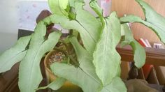 ออมเงิน (Sygonium podophyllum Shotf.)