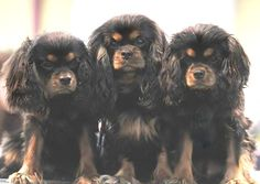 A lovely trio of Black and Tan Cavalier puppies - so sweet