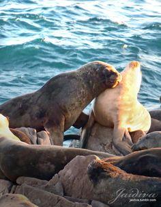 #LobosdeMar en #Concon . #Vregion #Chile #valparaiso #Viñadelmar #sealion #sea #mar #roquerio #rocas #costa #beach #playa #bordecostero #playa Chile, Dune, Romantic Paintings, Seaside, Rocks, Beach, Animales, Chili, Chilis