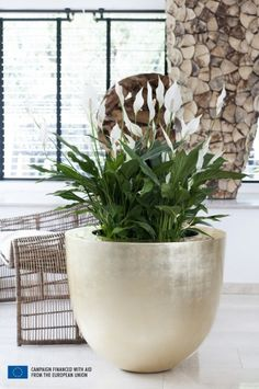 In June 2015 the Peace Lily, also known as the Spathiphyllum, stands on a pedestal as Houseplant of the month. The story of the Peace Lily Balcony Garden, Indoor Garden, Indoor Plants, Peace Lily Plant, Plantas Indoor, Yucca, Garden Web, Decoration Plante, Office Plants