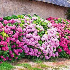 """Freiland-Hortensien-Hecke """"Pink-rosé"""",3 Pflanzen"""