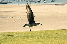 Bird taking off at Mission Bay, San Diego