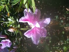 Azaleas already in bloom! Spent hours covering everything yesterday.