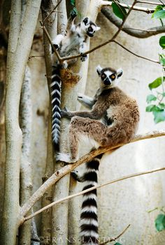 A Ring-Tailed Lemur. (Lemur catta.)  With Her Young Infant in Madagascar.