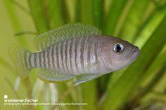 Der Schneckenbuntbarsch-Blog: Neolamprologus multifasciatus