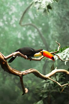 toucan.... soft bill fruit eater... sweet nature... they hop around...cute & cool