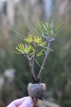 Super mini bonsai blog