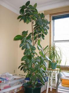 FICUS ELASTICA. indoor rubber tree plant. (how to prune, gardenknowhow)