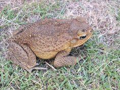 Mindanao, Toad, Philippines, Creatures, Garden, Pictures, Animals, Cagayan De Oro, Photos