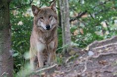 Loup, Loup Européen, Attention