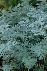 "Artemesia absinthium ""Lambrook Silver"" 32""H - 26"" Spread"