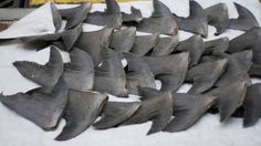 Ban the Sale and Possession of Shark Fins PETITION - Care2 News Network
