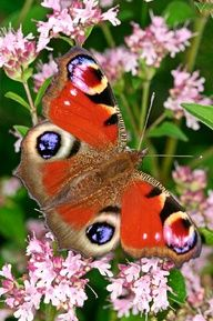 35. Peacock butterfly (Inachis io)