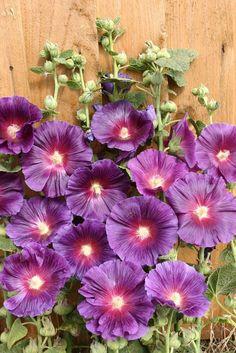 Hollyhock Seeds Rosa Halo Lavender
