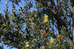 Banksia Men in the Royal National Park NSW