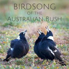 The cackling 'laughter' of the Laughing Kookaburra is one of the best known sounds of the Australian bush. Listen to kookaburra calls here. Australian Bush, Australian Birds, New Zealand Wildlife, Carol Songs, Sounds Of Birds, Australia Animals, Bird Species, Magpie, Beautiful Birds