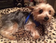 Gizmo is an adoptable Yorkshire Terrier Yorkie searching for a forever family near Pembroke Pines, FL. Use Petfinder to find adoptable pets in your area.