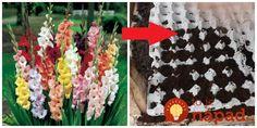 Moja svokrička miluje gladiole a pestuje ich už hádam aj 30 rokov. Každú sezónu ich má prenádherné, stoja pri plote ako vojaci v jednej rade a sú také obsypané kvetmi, že sa za nimi musí