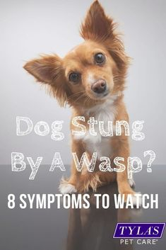 Was your dog stung by a wasp? Not only is it a painful time for your dog but wasp stings can be dangerous if your pup is allergic. In this post we have included both signs to watch for and remedies you can use to soothe the sting at home. #dogstungbyawasp #waspstingremedies #whattodoifyourdoggetsstung #wasp #dogs Dog Dental Care, Pet Care, Fire Ant Bites, Dog Cone, Wasp Stings, Dog Health Tips, Dog Care Tips, The Victim