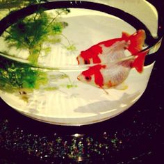 Goldfish 金魚 東京・日本橋 | 2012 Art Aquarium | アートアクアリウム