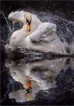 ~~Morning Shower ~ Swan by Paul Keates~~ Le cygne. Beautiful Swan, Beautiful Birds, Animals Beautiful, Beautiful Life, Beautiful Images, Animals And Pets, Cute Animals, Photo Animaliere, Life Photo