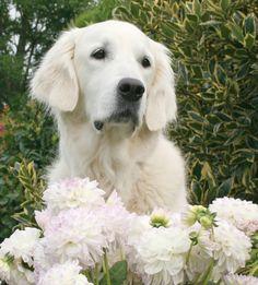 Shabby Flowers White English Cream Creme Golden Retriever White British English Cream Creme Goldens Puppy Dog Puppies Hound Dogs