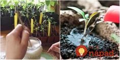 Bohatá úroda zaručená: Záhradkár radí jednoduchý trik, vďaka ktorému budú sadenice silné a porastú ako z vody!