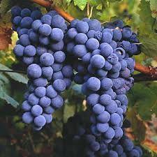 001 - Hace 65 millones de años aparece la planta vitis en la Tierra durante la era terciaria. Es el periodo  lignítico.