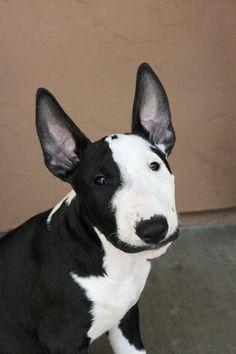 Картинки по запросу bull terrier
