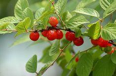 Секреты обильного плодоношения войлочной вишни