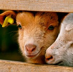 Once again, two cute baby goats. Sadly the white one is quite cut, but well, it's still cute I think. Keeping Goats, Raising Goats, Baby Farm Animals, Cute Animals, Animal Fun, Zoo Animals, Animal Pictures, Pigmy Goats, Goat Care