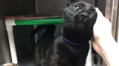 Adoptable Rescue Cat Gizmo