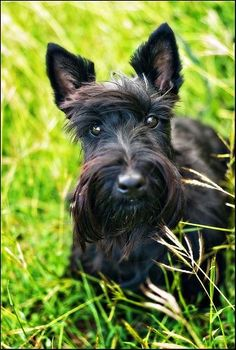 Beautiful Scottish Terrier