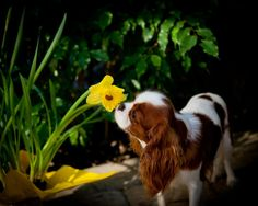 loves to stop and smell the flowers :) King Charles Puppy, Cavalier King Charles Dog, King Charles Spaniel, Cavalier King Spaniel, Spaniel Dog, Cute Little Puppies, Puppy Love, Lap Dogs, Best Dog Breeds