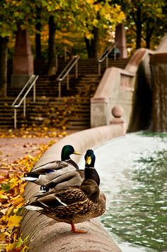 """Duck, Duck, Goose?""   by Big Bean Photos, via Flickr, taken in Bellevue, WA"