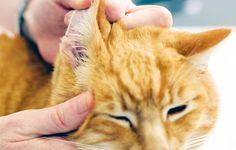 Prodiguer des soins à votre chien ou votre chat permet notamment de prévenir les problèmes d'infection et d'inflammation. Pour prendre soin de leurs yeux et de leurs oreilles, voici deux lotions naturelles pour chiens et chats à faire soi-même : Lotion naturelle pour les oreilles Cette pré…
