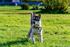 People oftentimes want something that can suit in their family a pet that could become a perfect indoor companion and there is one breed that is capable and its name is miniature husky. Siberian Husky Training, Siberian Husky Dog, Husky Puppy, Husky Mix, Bear Dog Breed, Teddy Bear Dog, Welsh Terrier, Husky Breeds, Dog Breeds