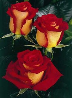 New amazing flowers pics every day, be the first to see them! Fantastic flowers will make your heart open. Exotic Flowers, Amazing Flowers, Love Flowers, Pretty Roses, Beautiful Roses, Roses Only, Rare Roses, Rosa Rose, Rose Pictures