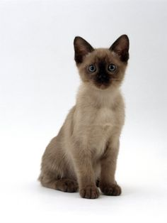 Siamese Cats Sealpoint awww i want a tonkinese kitten soooo bad - Tonkinese Kittens, Siamese Cats, Siamese Dream, I Love Cats, Cool Cats, Kittens Cutest, Cats And Kittens, Oriental Cat Breeds, Domestic Cat Breeds