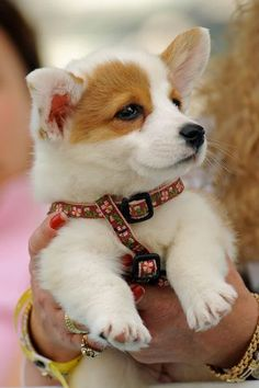 Cute corgi pup Just love this. Cute Corgi, Corgi Dog, Cute Puppies, Pet Dogs, Dogs And Puppies, Dog Cat, Corgi Funny, Teacup Puppies, Weiner Dogs