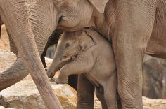 New Baby #Elephant by Images by Jonesy, via Flickr