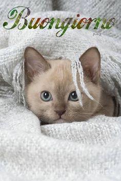 Buongiorno Italian Greetings, Italian Memes, Cats And Kittens, Good Morning, Kitty, Animals, Crochet Patterns, Photos, Phrases In Italian
